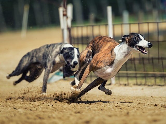 How much does a racing greyhound cost?
