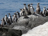 A waddle of Chilean penguins pictured in February 2021